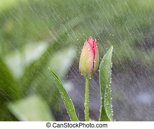 Single Flower in Spring Rain - Horizontal photo of single...