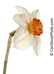 Quarter view of a single flower and stem of the small-cup daffodil cultivar Pink Rim against a white background