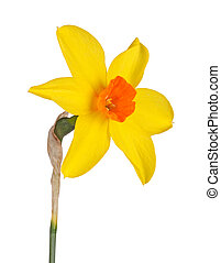 Single flower and stem of the yellow and red, small-cup daffodil cultivar Starbrook isolated against a white background