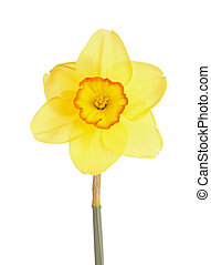 Single flower and stem of the yellow and red, small-cup daffodil cultivar Pacific Rim against a white background