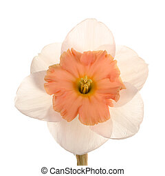 Single flower of the pink, yellow and white, small-cup daffodil cultivar Strawberry Creme against a white background square