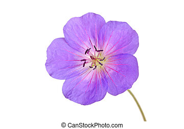 Single bright purple and red flower of the cultivated Geranium isolated against a white background