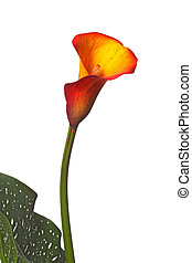 Single flower of an orange calla lily and partial leaf -...