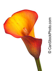 Single flower of an orange calla lily - Single flower and...