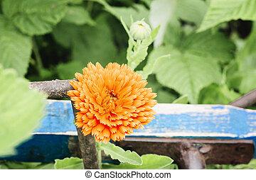 Single flower of calendula