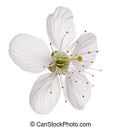 Single flower of cherry isolated on white background