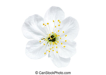 Single flower of cherry. Isolated on white background. -...