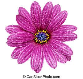 Single flower of Gazania. (Splendens genus...