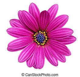Single flower of Gazania. (Splendens genus asteraceae)....