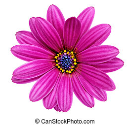 Single flower of Gazania. (Splendens genus asteraceae).Isolated.