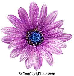 Single flower of Gazania with drops. (Splendens genus...