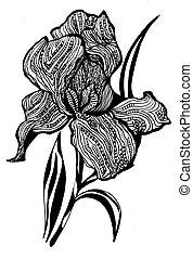 Single flower of Iris for your design