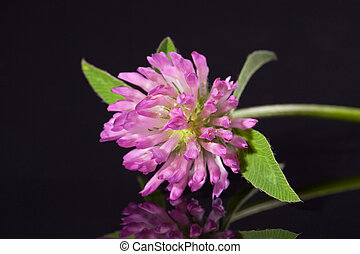 single flower of pink clower isolated on black background -...