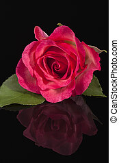 Single flower of pink rose isolated on black background,...