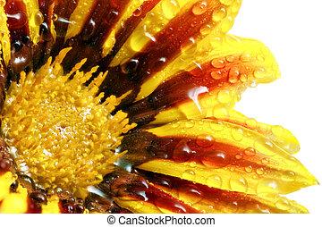 Single flower of tiger Gazania with drops. (Splendens genus...