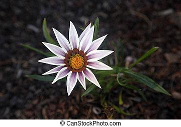 single flower on a dark background