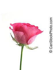 Single flower pink rose - Flower red rose on the white...