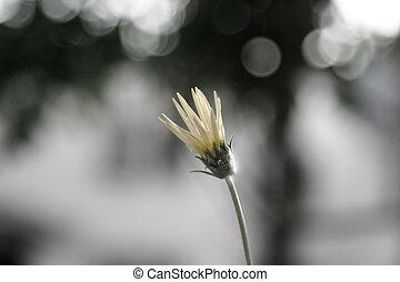 Single Flower - A single budding daisy against dramatic gray...