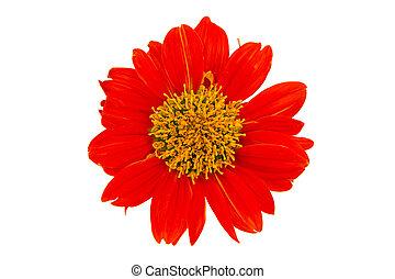 Single flower - Single orange sunflower isolated on white...