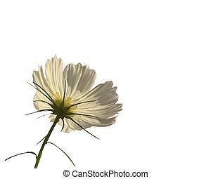 Single Flower - White Shasta isolated over white from...