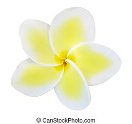 Single Frangipani