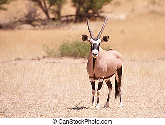 Single Gemsbok (Oryx Gazella) - Single wild Gemsbok (Oryx...