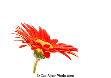 single gerbera flower on white background