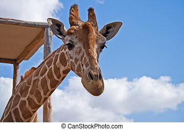 single giraffe head on summer sky