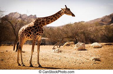 Single giraffe on the savanna in a national park