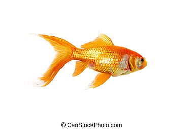 Single Goldfish - Alive single goldfish isolated on white...
