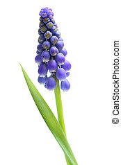 Single Grape Hyacinth - Single blue fresh grape hyacinth...