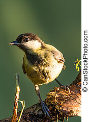 Single great tit sits on dry branch