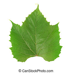 Single green grape leaf