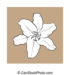Single hand drawn white lily flower, top view, vector illustration