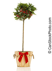 Single Holly Tree in Wooden Pot