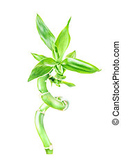 Lucky Bamboo (Dracaena Sanderiana) - Single houseplant stem...