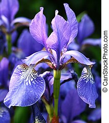 Single iris flower