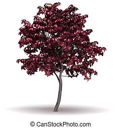 Single Acer Japonicum Tree (isolated white background)