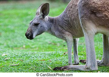 Single Kangaroo - A kangaroo grazes in the wild in Victoria,...