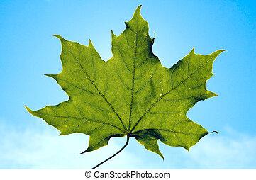 single leaf of maple