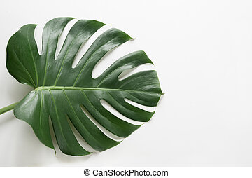 Single leaf of Monstera plant on white background. Close up, isolated with copy space