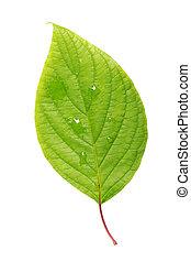 Single leaf isolated on white background