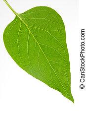 Single lilac leaf