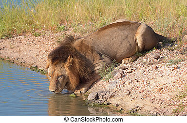 Single male lion (panthera leo) drinking water from a pool in savannah in South Africa