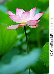 A single lotus flower between the greed lotus pads