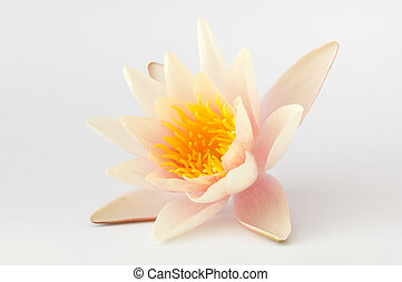 Single lotus flower isolated