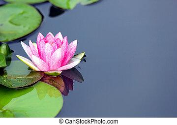 lotus flower - Single lotus flower