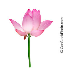 Single Lotus Isolated On White