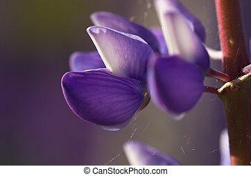 Single Lupin Flower