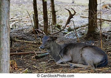 Single male Fallow Deer (Dama Dama)